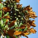 tree leafves