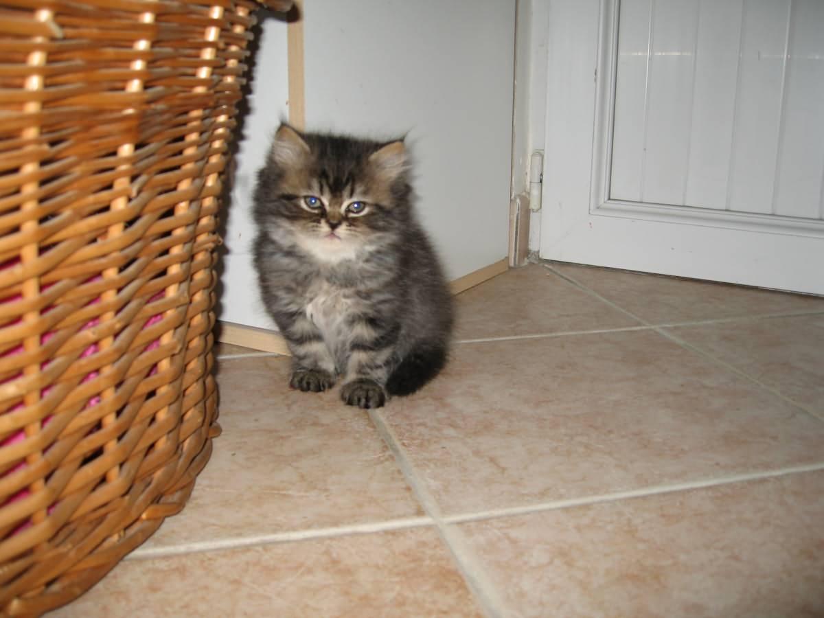 Nantes Kitten