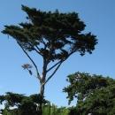 Croisic Tree