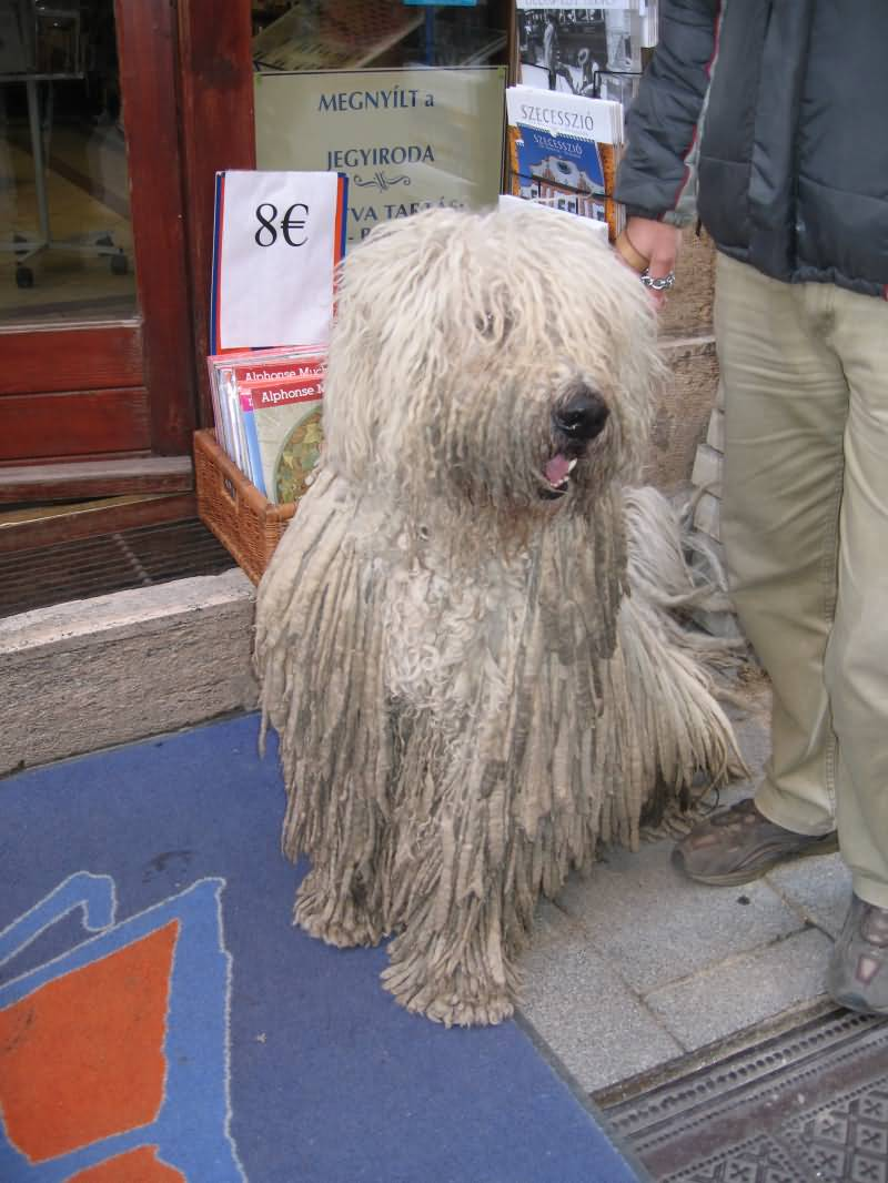 Dreed Locks Dog Budapest