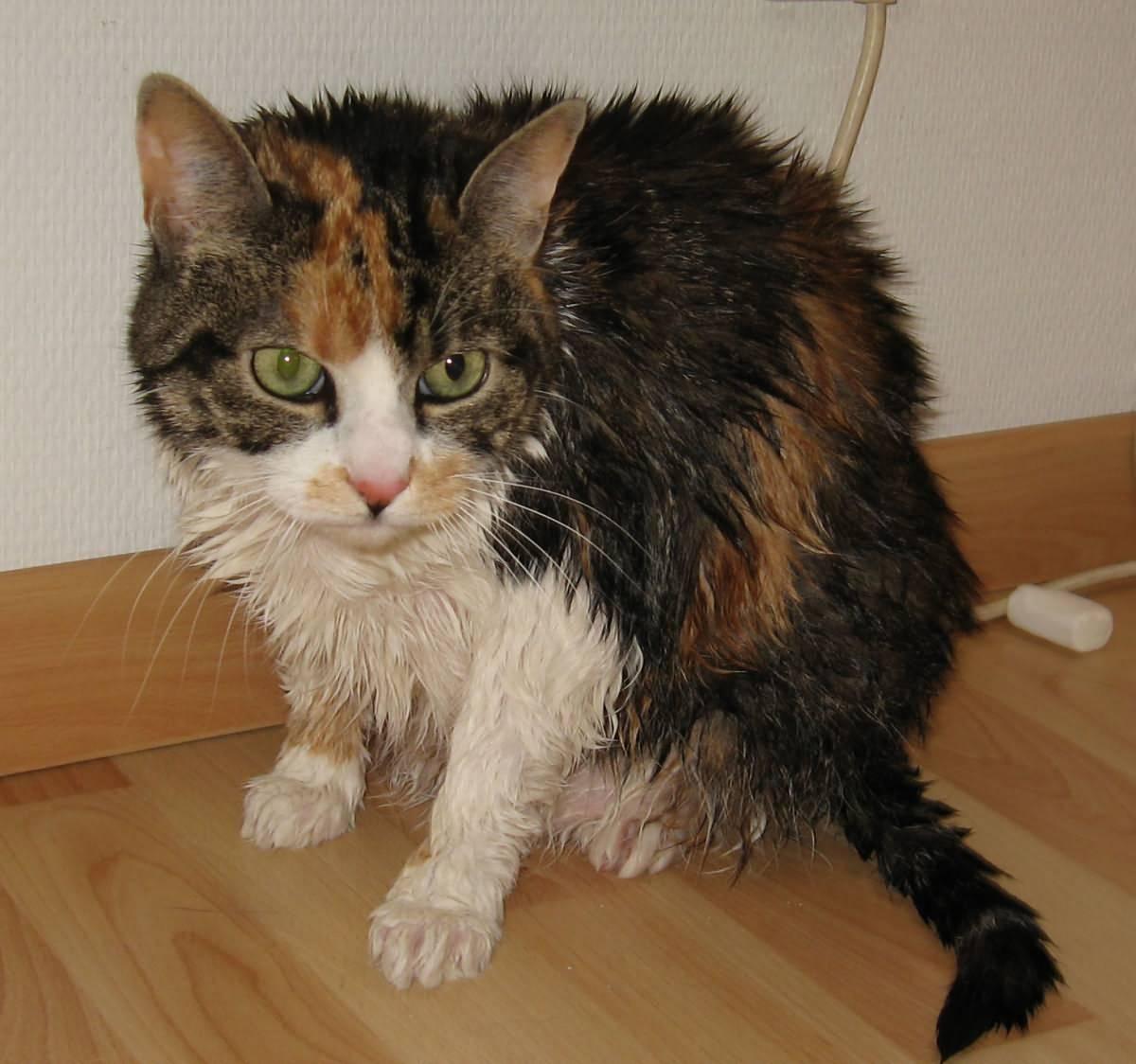 выяснили, кот заразится бешенством от крысы подобные тату